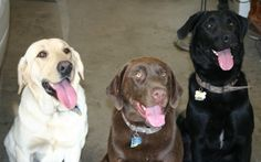 Yellow, Chocolate and Black Labrador Retrievers