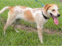 Palm Beach Co, Fl-GEM - ID#A1671772 My name is GEM. I am a spayed female, red and white Catahoula Leopard Hound.For more information about this animal, call: Palm Beach County Animal Care and Control at (561) 233-1200 Ask for information about animal ID number A1671772 The shelter staff think I am about 9 months old. I have been at the shelter since Jul 18, 2013.