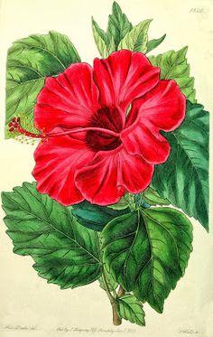 HIBISCUS ROSA-SINENSIS |The Garden of Eaden