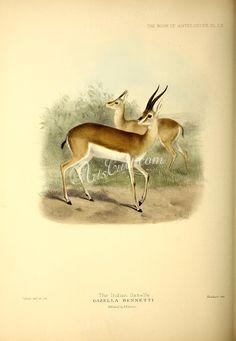 Indian Gazelle      ...