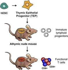 UCSF Scientists Use Human Stem Cells to Generate Immune System in Mice