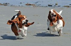 Happy bassets runnin on the beach..look at those faces!!!!