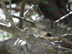 iguana en Morrocoy