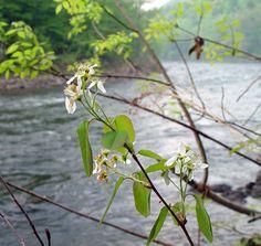 Amelanchier spicata (dwarf serviceberry, dwarf shadbush): Go Botany Botany, Plants, Planters, Plant, Planting