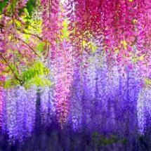 wisteria multi color