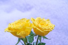 yellow rose on snow background