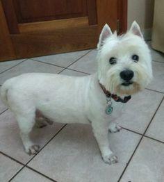Orfeas Westie old! Cute Little Dogs, Cute Dogs, West Highland White, West Highland Terrier, White Terrier, Westies, Schnauzer, Best Dogs, Muffin