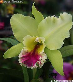 C Achung Emerald Orquideas Cymbidium, Calathea Plant, Cattleya Orchid, Green Flowers, Garden Plants, Flower Power, Floral Arrangements, Beautiful Flowers, Bouquet