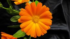 The orange of this marigold pops against the dark background.