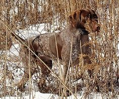 had one of these dogs...smartest ones in the hunting breed
