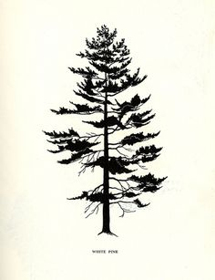 White Pine: Tree Flowers of Forest, Park, and Street Walter E. Rogers, Olga A. Smith