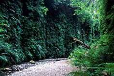 Fern canyon at Prairie Creek Redwoods State Park.  Image courtesy National Park Service http://gocalifornia.about.com/od/topcalifornia/a/redwood_forests.htm