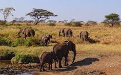 African Elephants at Serengeti National Park #Tanzania #Africa #Safari