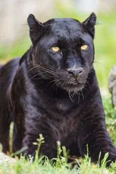 1000 Images About Awesome Wild Cats On Pinterest Lynx