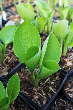 Green Hill Farm, Great New Hostas Wholesale and Retail   H.Pea Pod'-Solberg 2013r