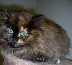 Meet Ariel, a Petfinder adoptable Domestic Long Hair Cat   Hartford, KY   Ariel was a stray. She looks to be about 4 months old. This long haired beauty is friendly but...