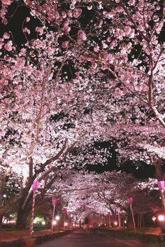 """571:「夜桜の散歩道 ♪ 咲き誇る桜のトンネルに サクラ色のぼんぼりの灯り… カメラを片手に、娘とふたりで """"春の夜の散歩"""" を楽しみました。」@大村公園"""
