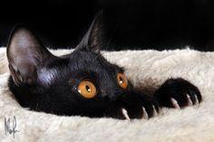 Boo! Funny Cats, Funny Animals, Cute Animals, Crazy Cat Lady, Crazy Cats, All Black Cat, Black Cats, Bombay Cat, Mundo Animal