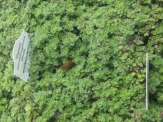 Top ten ground cover ideas for the Calgary area from thepassionategardener.ca  20130623_165036