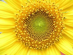 Sunflower seed and petal whorl. Sunflower florets are laid out in a very specific geometry. Fractals In Nature, Spirals In Nature, Fibonacci Sequence In Nature, Fibonacci Spiral, The Golden Mean, Divine Proportion, Van Gogh Sunflowers, In Natura, Spiral Pattern