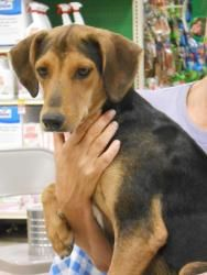 HUGH is an adoptable Foxhound Dog in Arlington, TX. Hugh, came into foster care from Glen Rose animal shelter,TX. He is an energetic boy, and loves to run and play. When he isnt playing with someone, ...