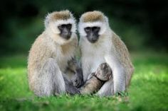 Five pain-free ways to manage the monkey menace - North Coast Courier Types Of Monkeys, Moving Photos, Wild Animals Photos, North Coast, Animals Beautiful, Animal Pictures, Wildlife, Funny, Cute