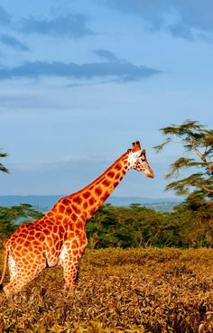 Giraffe in savana, South Africa | Discover why Millions of Tourists visit South Africa