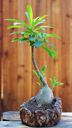 Pachypodium decaryi by ktvamp