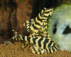 """Leopard Frog Pleco"" - they love zucchini Saltwater Aquarium Fish, Tropical Fish Aquarium, Tropical Freshwater Fish, Freshwater Aquarium Fish, Beautiful Tropical Fish, Beautiful Fish, Pleco Fish, Plecostomus, Cool Fish"