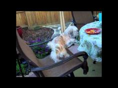 Cute dog tries to get at food by spinning in chair (VIDEO) » DogHeirs | Where Dogs Are Family « Keywords: chair, food, spin