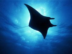 Manta ray - Dive The World