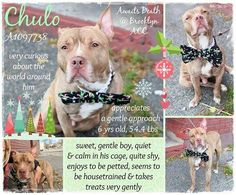 CHULO – A1097738  Dumped by owner grieving sweet dog is on death list today! If you would like to foster or adopt and can't make it to the shelter, please write an email NOW to the Urgent Help Desk at Helpdogs@Urgentpodr.org Their experienced volunteers will assist you one-on-one with rescues and the application process. Transport can be arranged by rescues to the homes of approved fosters or adopters within 3-4 hours of New York City