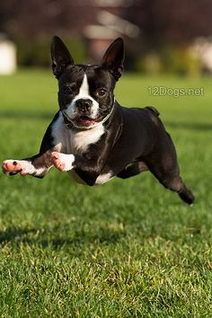 Boston Terrier | Something about a flying Boston... | L0bstrosity | Flickr