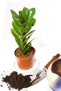 Zimmerpflanzen Repot Zamioculcas Zamiifolia Lawn Care Maintenance For Mere Mortals Article Body: Tho Orchid Care After Flowering, Transplanting Orchids, Amazing Gardens, Beautiful Gardens, Palm Plant, House Plant Care, Orchid Plants, Organic Fertilizer, Plantar