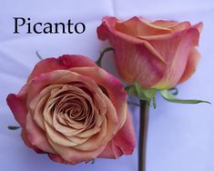 Flirty Fleurs Orange Rose Color Study. Picanto Orange Rose