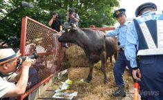 非営利団体「希望の牧場・ふくしま」によって農水省前に連れてこられた被ばく牛(2014年6月20日撮影)。(c)AFP/KAZUHIRO NOGI ▼20Jun2014AFP|福島から被ばく牛連れ、農水省前で抗議 http://www.afpbb.com/articles/-/3018345 #Tohoku2011 #Fukushima_nuclear_disaster