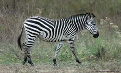 common zebra - Google Search