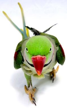 Alexandrine parakeet. Mine didn't have the black ringneck.  But walked like this one.  With purpose!!