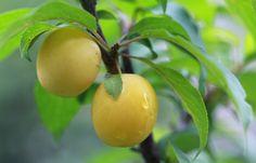 'Vetraz'-kirsikkaluumun hedelmät maistuvat hunajaisen makeilta. Photo Outi Tynys viherpiha.fi