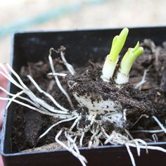 Growing onions from discarded onion bottoms. Growing Onions, Growing Greens, Growing Vegetables, Organic Gardening, Gardening Tips, Planting Onions, Leafy Salad, Grow Your Own Food, Vegetable Garden
