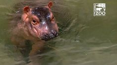Fiona the Rescued Baby Hippo Graduates to the Adult Swimming Pool at the Cincinnati Zoo
