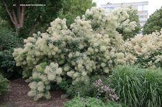 Cotinus coggygria = pruikenboom, dankt zijn naam aan de bloeiwijzen, de 'pruiken', middenzomer. Forse struik tot 3m. stelt weinig eisen aan de grond.