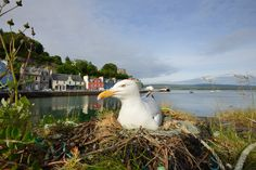 https://flic.kr/p/o4gX5i | Herring Gull | This individual was nesting on one of the harbour walls in Tobermory, the iconic colourful buildings of this town on Mull can be seen behind. Expect plenty of images from my recent holiday in Scotland over the coming weeks!