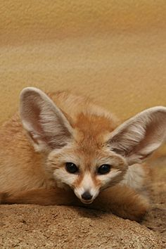 The Fennec Fox (Vulpes zerda) is a small nocturnal fox found in the Sahara of North Africa. Its most distinctive feature is unusually large ears.