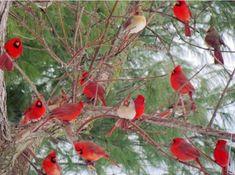 red male cardinals, beige female cardinals
