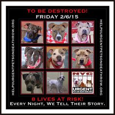 TO BE DESTROYED:8 beautiful dogs to be euthanized by NYC ACC- FRI. 02/06/15. This is a VERY HIGH KILL shelter group. YOU may be the only hope for these pups! ****PLEASE SHARE EVERYWHERE!!To rescue a Death Row Dog, Please read this:  http://urgentpetsondeathrow.org/must-read/    To view the full album, please click here:    https://www.facebook.com/media/set/?set=a.611290788883804.1073741851.152876678058553&type=3