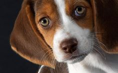 10 Most Popular Dog Breeds in America. Beagle is the 3rd one, click the pic for complete list