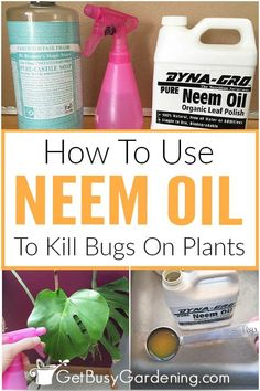 Why spend lots of money on harsh, chemical garden bug sprays? Find out about neem oil benefits and uses for organic insect control. Feel good about naturally protecting outdoor and indoor plants from damaging bugs. Especially when you can kill and prevent plant pests without harming beneficial insects! Neem oil is the perfect answer to natural pest control for organic gardening, with a low environmental impact. Learn how to use it to make a DIY natural pesticide for your garden and…