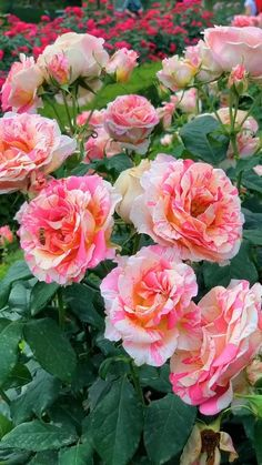 Beautiful Rose Flowers, Beautiful Flowers Wallpapers, Rare Flowers, Flowers Nature, Exotic Flowers, Comment Planter Des Roses, Rose Video, Perennial Flowering Plants, Clematis Flower