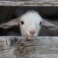 hello world - fine lamb photography (and so farm fresh) - 8x8 image hard backed. $ 25.00, via Etsy.